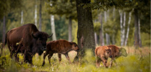 commercial logging in Bialowieza news, Bialowieza UNESCO World Heritage site news, protecting Europe's primeval forests news, Europe environment news, conservation news Europe, nature reserves Europe, Poland environment news, Poland deforestation news, Latest Environmental news, European Court of Justice news
