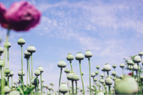 Afghanistan news, Afghanistan opium production, Afghanistan peace talks, Taliban news, talks with the Taliban, Afghanistan Taliban talks, Afghanistan opium trade, Taliban opium trade, Afghanistan peace process, global drug trade