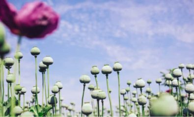 Without Curbing the Opium Trade, Afghanistan Is Unlikely to See Peace