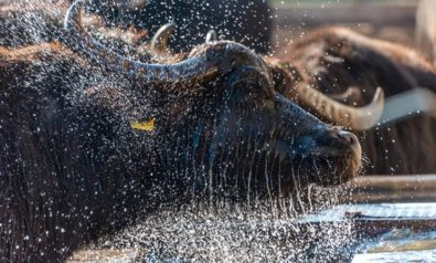 Don't Allow the Buffalo in India to Be Cowed Down