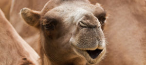 Rejeanne Lacroix, Bactrian camels, wild Bactrian camels conservation, Sir David Attenborough, Jane Goodall, Bactrian camels habitat, Bactrian camels endangered status, wildlife conservation news, ugly animals need love too, Wild Camel Protection Fund